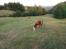 蓝色母牛威胁黑暗的横向牧场地农村天空夏天下 免版税库存照片