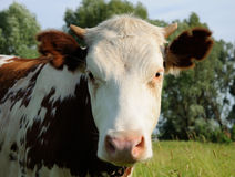 蓝色母牛威胁黑暗的横向牧场地农村天空夏天下 免版税图库摄影