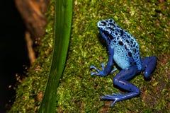 蓝色毒物箭青蛙上升 免版税库存照片