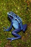 蓝色毒物箭青蛙上升 库存图片