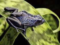 蓝色毒物箭青蛙亚马逊雨林 免版税图库摄影