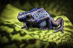 蓝色毒物箭青蛙亚马逊雨林 库存照片