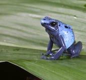 蓝色毒物箭青蛙 免版税库存图片