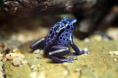 蓝色毒物箭青蛙(Dentrobates azureus) 免版税库存照片