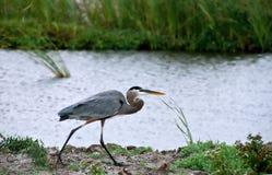 蓝色沿海极大的苍鹭走沼泽地 免版税库存图片
