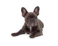 蓝色法国牛头犬放置 免版税库存图片