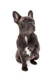 蓝色法国牛头犬爪子 免版税图库摄影
