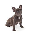 蓝色法国牛头犬 免版税库存图片