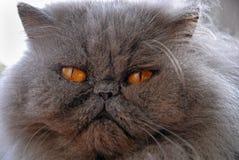蓝色波斯猫表面 免版税库存照片