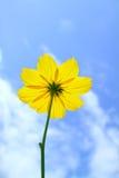 蓝色波斯菊花天空黄色 库存图片