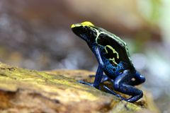 蓝色洗染的箭青蛙Dendrobates tinctorius 库存图片