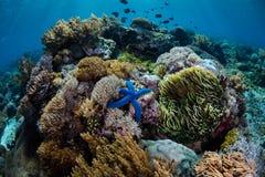 蓝色海星和充满活力的礁石 库存照片