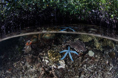 蓝色海星和美洲红树森林 库存照片