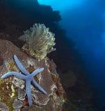 蓝色海星和黄色featherstar在冰砾珊瑚 免版税库存照片