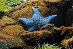 蓝色海星 免版税库存照片