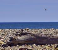蓝色海洋漂流木头海鸥3583 A 免版税图库摄影
