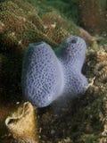 蓝色海绵- Haliclona sp。 图库摄影