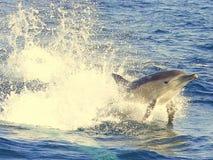 蓝色海豚游泳水 库存图片