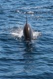 蓝色海豚水 免版税库存照片