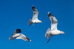 蓝色海鸥天空 免版税库存照片