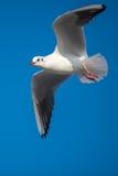 蓝色海鸥天空 免版税图库摄影