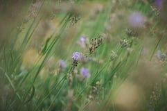 蓝色淡紫色词根在开花以后的 免版税库存照片