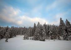 蓝色清楚的冷杉早晨天空多雪的结构树冬天 免版税库存照片