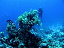 蓝色清楚的珊瑚潜水员礁石 免版税库存图片