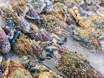 蓝色游水螃蟹大大小 免版税库存图片