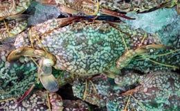 蓝色游泳者捉蟹在冰的橡皮筋儿 有时叫的'blue manna' 库存照片