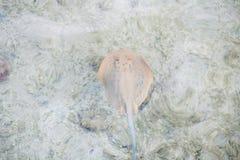 蓝色漂浮在水下的被加点的黄貂鱼 库存图片