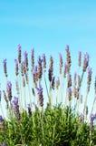 蓝色灌木淡紫色天空 库存图片
