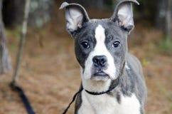 蓝色烟草花叶病的Pitbull波士顿狗混合了品种小狗 免版税库存照片