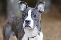 蓝色烟草花叶病的Pitbull波士顿狗混合了品种狗 免版税图库摄影