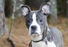 蓝色烟草花叶病的Pitbull波士顿狗混合了品种狗 免版税库存照片