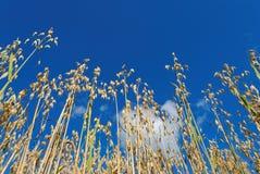 蓝色燕麦天空 图库摄影
