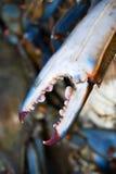 蓝色爪关闭螃蟹非常尖的锐利 免版税库存照片