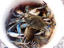 蓝色爪螃蟹 免版税库存图片