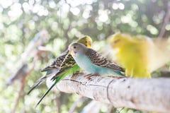 蓝色爱情鸟 免版税库存图片
