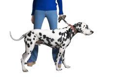 蓝色牛仔裤的女孩显示一条达尔马希亚狗 库存照片