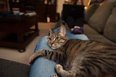 蓝色牛仔裤膝部的猫休息室 图库摄影