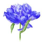 蓝色牡丹花,水彩传染媒介在白色背景的例证孤立 图库摄影