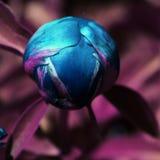 蓝色牡丹芽有紫色背景 图库摄影