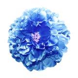 蓝色牡丹(被定调子) 库存图片
