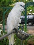 蓝色特写镜头注视鹦鹉白色 免版税库存照片