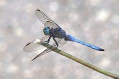 蓝色特写镜头蜻蜓 库存图片