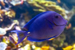 蓝色特性叶形装饰板天蓝色一条珊瑚礁鱼,矛状棘鱼家庭 库存照片