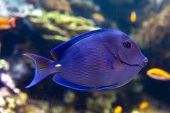 蓝色特性叶形装饰板天蓝色一条珊瑚礁鱼,矛状棘鱼家庭 库存图片