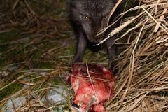蓝色狐狸在晚上来吞食封印尸体  库存图片