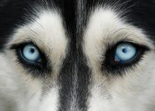 蓝色狗眼睛 免版税图库摄影